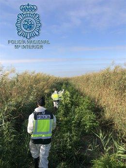La Policía Nacional en Dos Hermanas (Sevilla) desmantela una plantación de marihuana en el Parque Natural de Doñana y cuyas plantasestaban dispuestas en paralelo a lo largo del río Guadalquivir