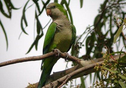 """SEO/BirdLife urge a combatir las especies invasoras, como la cotorra argentina de la que lleva """"años"""" avisando"""