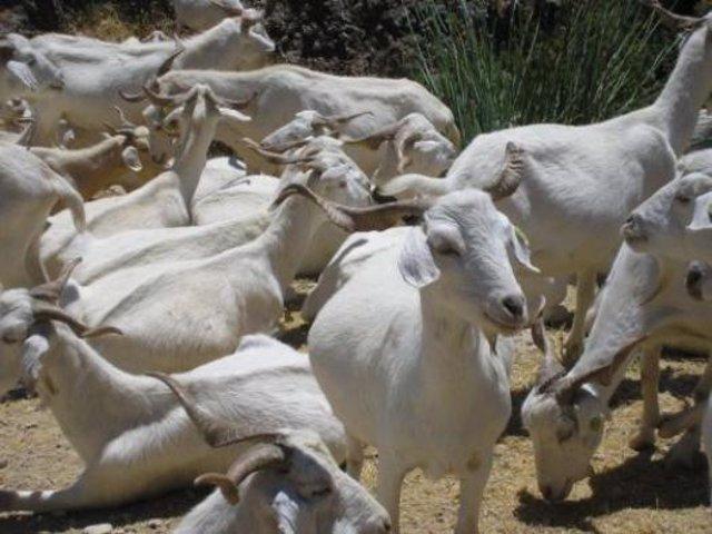 Las ayudas para conservación y uso de recursos genéticos ganaderos podrán presen