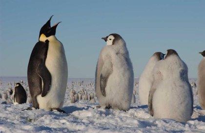 Urgen a protección especial del pingüino emperador por el calentamiento