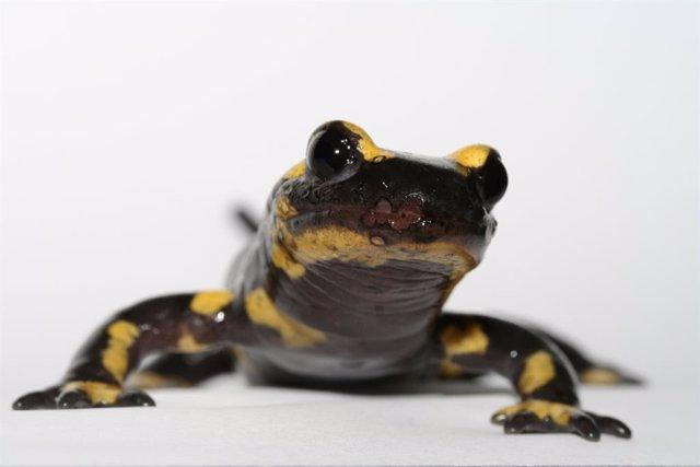 Los humanos tienen la capacidad de las salamandras de regenerar el cartílago en