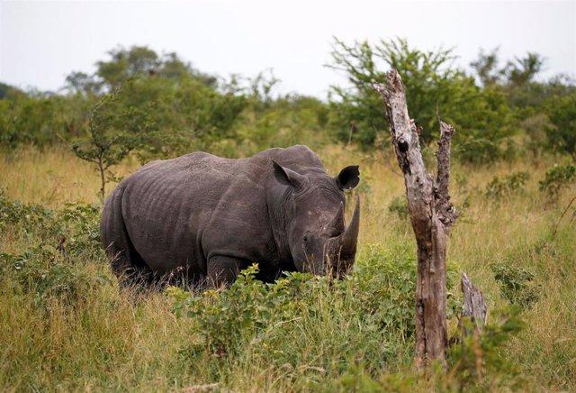 Un rinoceronte en una reserva de Sudáfrica.