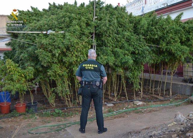 Plantación de marihuana localizada por la Guardia Civil en La Rinconada