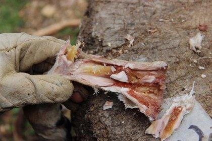 Humanos comían médula ósea como sopa en conserva hace 400.000 años