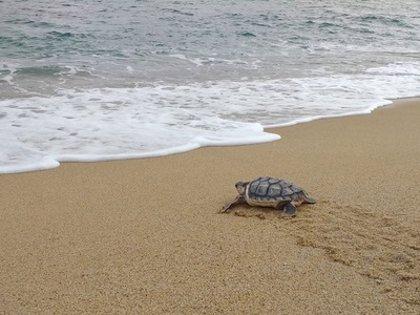 Liberan una de las tortugas careta que nacieron en la playa de Premià de Mar el año pasado