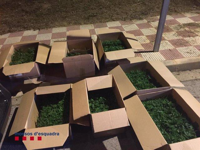 Set caixes amb 1.100 plantes de marihuana confiscades pels Mossos d'Esquadra a dos homes a Quart.