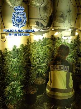 Plantas de marihuana en una vivienda de Almería