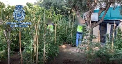 Desmantelan un cultivo de marihuana de 250 plantas en el jardín de una vivienda junto a un colegio de Alicante