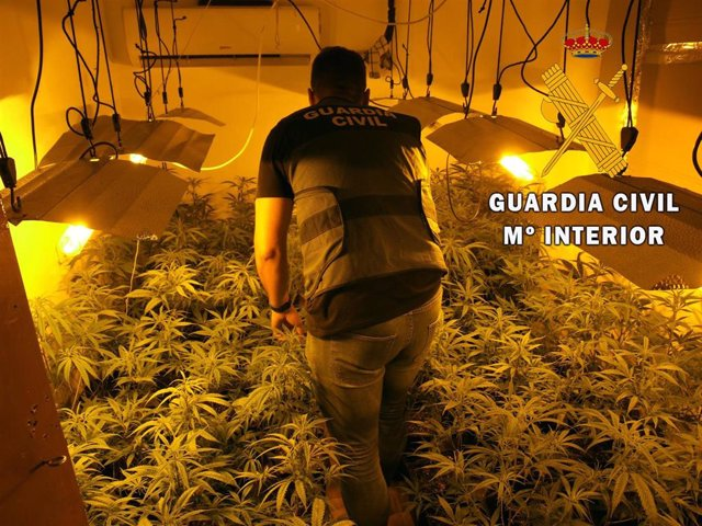 Plantación de marihuana desmantelada en La Mojonera