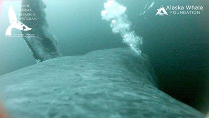 Un vídeo documenta cómo las ballenas se alimentan mediante burbujas
