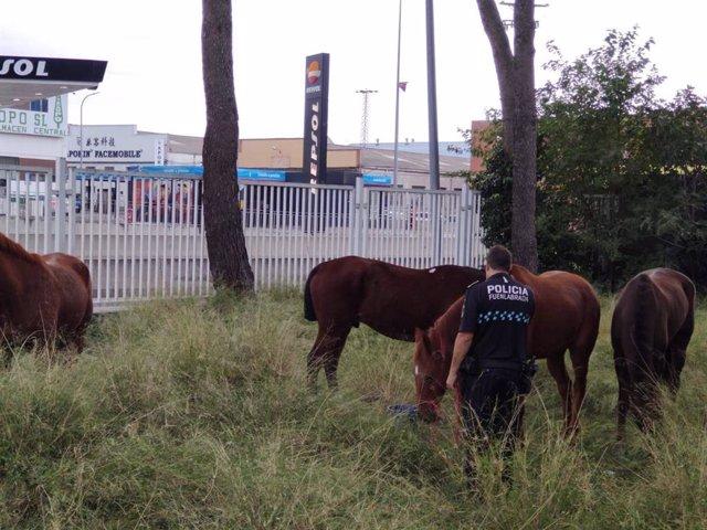 Imagen de los cuatro caballos intervenidos cuando deambulaban solos cerca de la M-506, a la altura de Fuenlabrada.