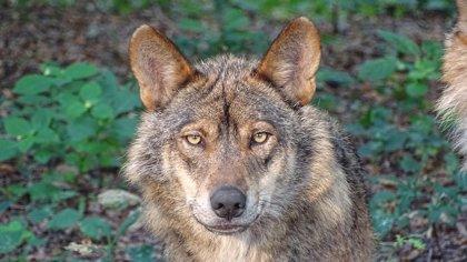 El Guijo se une a la moción de Asaja contra la recuperación del lobo en Andalucía