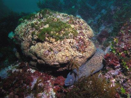 Descubren en colonias de corales vivos en Columbretes una estrategia de supervivencia sólo conocida en fósiles