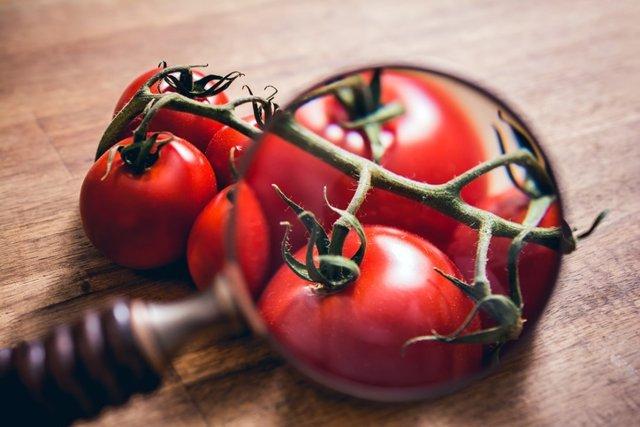 Mirando a través de una lupa un tallo de tomates en una mesa de madera.