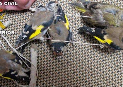 Investigado un vecino de Jaén por cazar pájaros con artes prohibidas