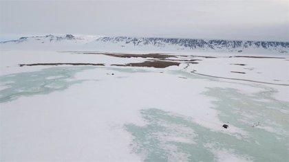 Una nevada extrema arruinó la temporada reproductiva del Ártico en 2018