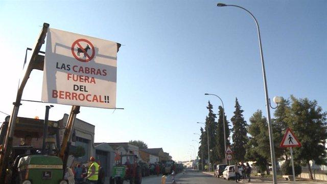 Agricultores de Calamonte (Badajoz) protestan con una tractorada por los daños q