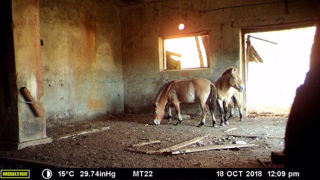 Caballos de Przewalski