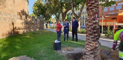 Ayuntamiento de Sevilla planta 12 palmeras, que recuperan alineaciones, en el entorno de la Muralla de la Macarena