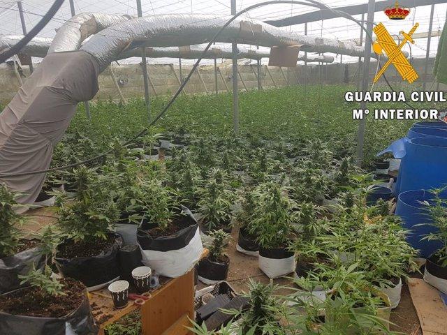 Plantación de marihuana localizada en un invernadero de El Ejido (Almería)