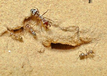 La hormiga más veloz del mundo se acerca al metro por segundo