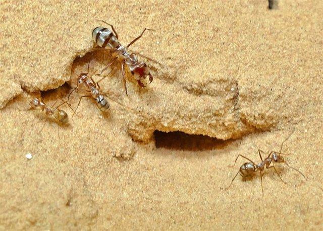 Obreras de la hormiga plateada sahariana