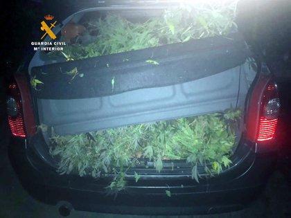 Detenido con 12 kilos de plantas de marihuana en el coche que podría haber cortado en el bosque