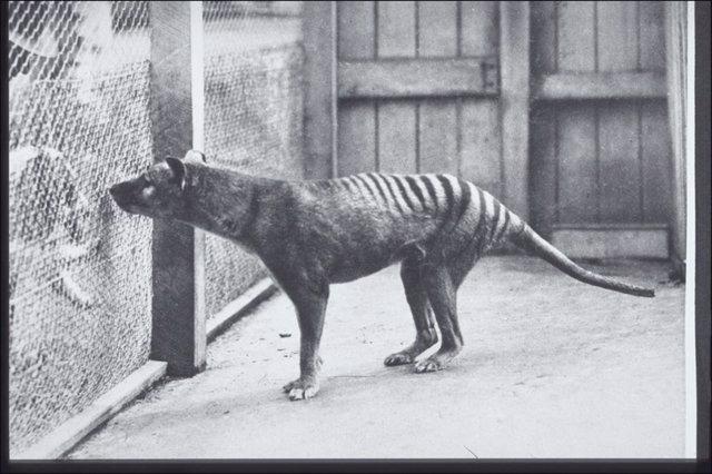Postal del tigre de Tasmania. Hobart Zoo c. 1928 (G.P. Whitley Papers Australian Museum Archives) AMS139/4/20/1