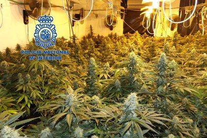 Desmantelan 400 plantas de marihuana en una casa okupada de Elda tras las quejas vecinales