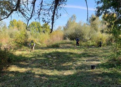 La CHE permeabiliza grandes masas de sedimentos vegetados en Pina de Ebro, Utebo y Sobradiel
