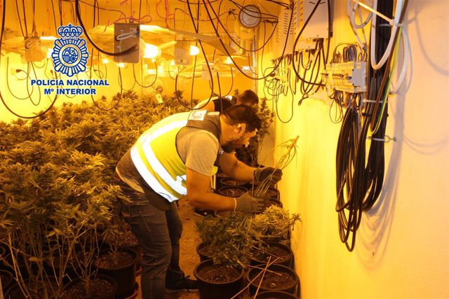 Policía Nacional desmantela varios puntos de cultivo de marihuana en Murcia