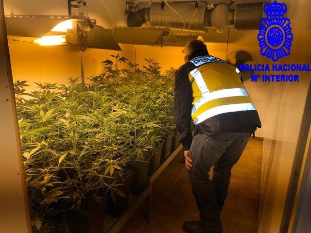 Imagen de la plantación de marihuana.