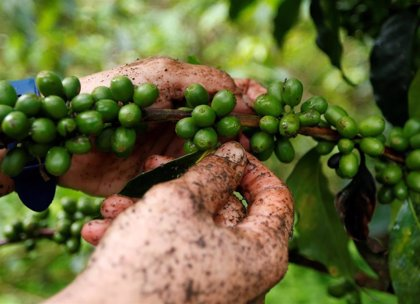 Colombia.- EEUU y Colombia lanzan una iniciativa para promocionar el café cultivado en zonas afectadas por la violencia