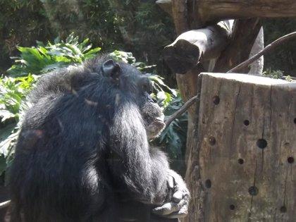 Científicos de varios países piden incluir en el género homo a chimpancés y bonobos