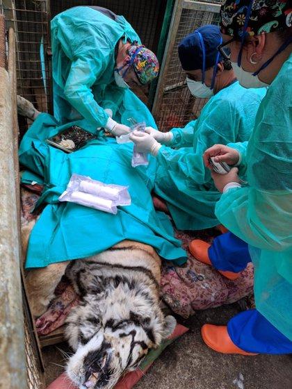Fallece la tigresa Diana del Zoológico El Bosque de Oviedo