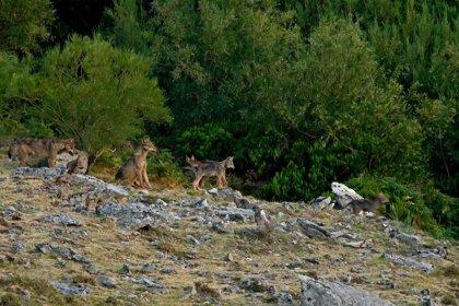Aumentan los daños del lobo a los ganaderos cántabros y las reclamaciones