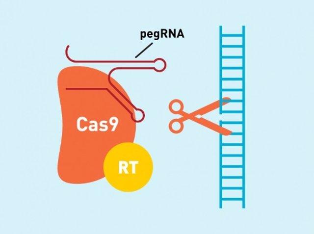 Sistema 'prime editing' de CRISPR para editar el genoma