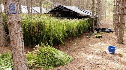 Cae un grupo que cultivó dos toneladas de marihuana en la Serranía Cuenca