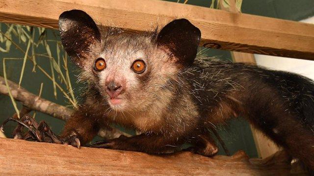 Descubren un sexto dedo en el primate más raro del mundo, el aye-aye