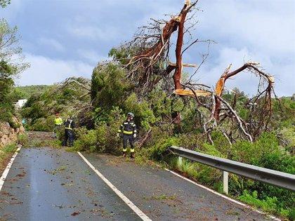 El temporal provoca la caída de 200 árboles en la carretera de Sant Antoni a Santa Agnès (Ibiza)
