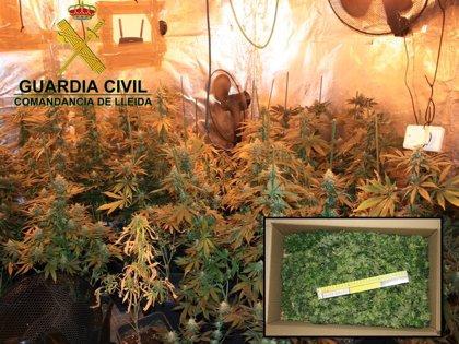 La Guardia Civil interviene 132 plantas de marihuana en Lleida y detiene al propietario