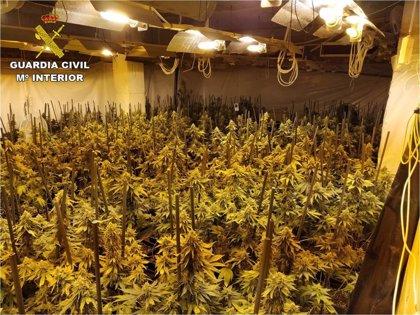 Desmantelan un grupo que cultivó 1.369 plantas de marihuana en casas alquiladas de Crevillent y Altea