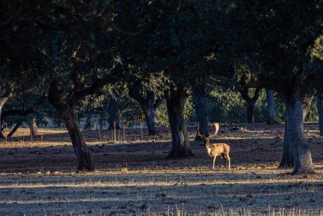 Un gamo en la época de la ronca, un ritual reproductivo de estos animales que indica el inicio de la temporada de la caza mayor.