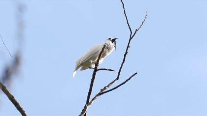 Conocido como el campanero blanco, este pájaro de dulce aspecto grita con los decibelios de un taladro industrial