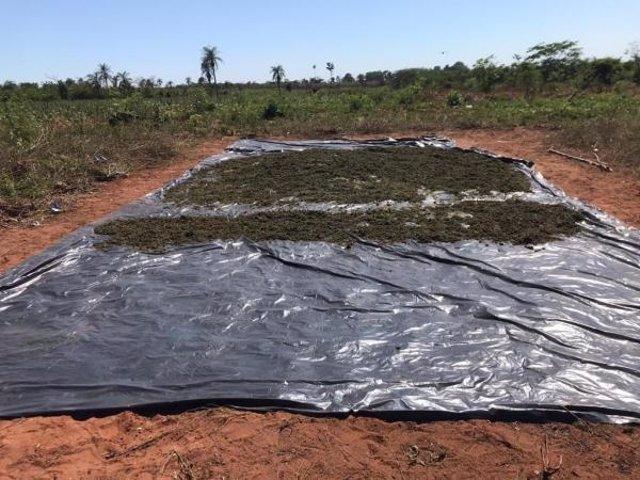 Marihuana destruida por la Secretaría General Antidrogas de Paraguay (Senad).