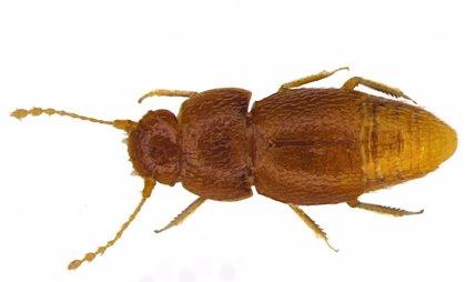Nueva especie de escarabajo, nombrada en honor a Greta Thurnberg