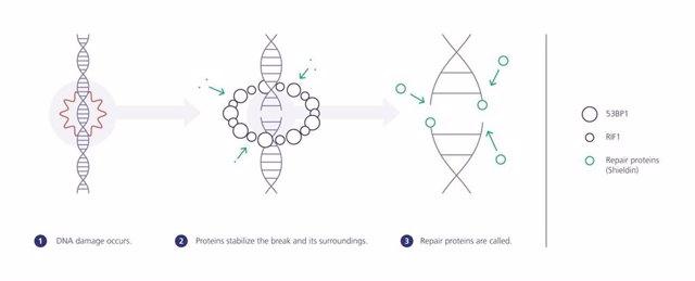 Infografía del  'andamiaje de proteínas'.