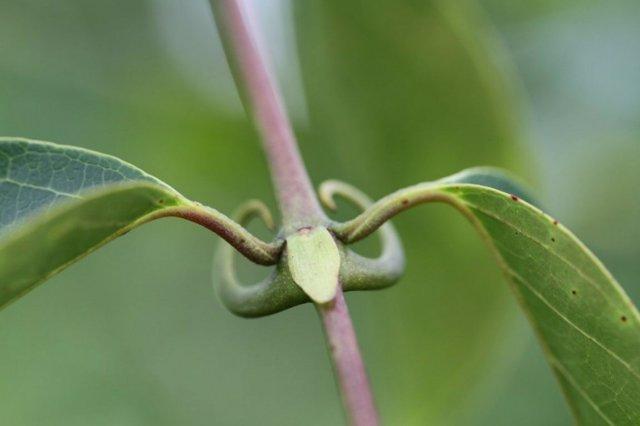 Uncaria guianensis, también conocida como uña de gato