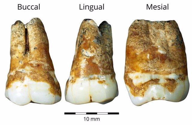 Restos dentales de 38.000 años usados en el estudio