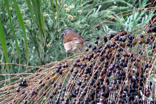 Los zorzales y otras aves medianas son cruciales para la conservación del palmit